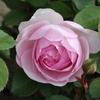 庭にバラが咲きはじめました