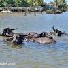 水牛がいる水上集落