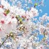 2019年4月 〜真鶴周辺のお花見スポット〜