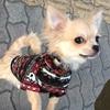 【犬YouTuber決定版】癒されたければ「チワワの銀さん」を訪ねよ!