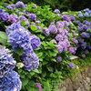 【都電好きも必見!飛鳥山公園】京浜東北の線路沿いは紫陽花天国だった☆彡