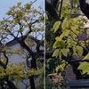 雨の夕刻.窓越しに見た柿の葉.新芽がこんなにきれいだったとは!そして寿福寺の参道を取り囲む取り囲むモミジの新芽の美しさ.高校時代,栂尾高山寺で見たもみじの新芽の美しさを思い出しました.新聞記事で,新緑のもみじは「青もみじ」として,静かなブームになっていることを知りました.その通り!「もみじは紅葉だけではありません」
