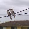 笑いカワセミ(クッカバラ)もオーストラリアでポピュラーな鳥ですって話