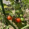 ミニトマト 収穫開始