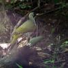 緑啄木鳥(アオゲラ)♂