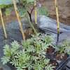 ナスの栽培(3)マリーゴールド・バジル混植