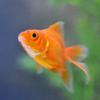 金魚が転覆病になってしまった・・・初期対処と家族金魚の優しさ。