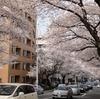 【東京】中野の街桜。
