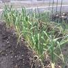 ニンニクの芽掻き‥ ~Thin out Garlic sprouts
