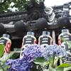 梅雨のお散歩:もう一度紫陽花を見に白山神社の境内へ