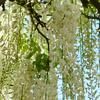八王子の白藤(燕市)の香りと忘れな草