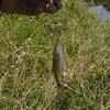 ゴールデンウィーク目指せ淡水五目釣り!4日目は遂に五目以上を達成するもグラッシーが逝く。しかしイケメンのオニヤマベが釣れたんだぜ