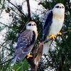 石垣島で確認の迷鳥カタグロトビ、脅威的繁殖 専門家は懸念「在来種と競合」