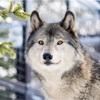 まだまだ伸びる!?お正月にツイートしたオオカミの写真が再びバズった話
