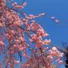 徳佐しだれ桜①