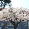 付属小学校の桜