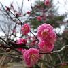 兼六園の梅が咲き始めました