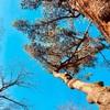 「私の鼓動が聞こえるかね?」松の古木とのコンタクト