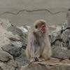 猿山は楽しい♪ 上野動物園