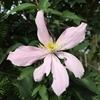 秋なのにクレマチスのモンタナが咲きました。