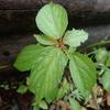 赤い茎が目立つ植物エノキグサ その葉はエノキにそっくり?