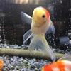 金魚の年齢