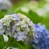 今年も埼玉・幸手の権現堂堤「あじさいまつり」で一面に咲くあじさいを撮ってきた