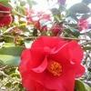 椿が咲きツバメ来る
