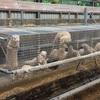 今度はオランダの毛皮農場でミンクがコロナに感染 毛皮産業の見直しを求める声高まる