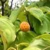 秋(2):ヤマボウシの実
