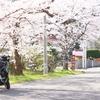 まずうちさぁ…桜あんだけど…