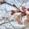 【お花見】3/23 代々木公園 桜の開花状況:早起き習慣のメリット (2017/3/23)