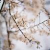 🌸📷F3(Nikonのフィルムカメラ)で桜を撮影🌸