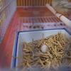 キンカチョウ卵を産む