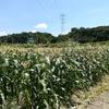 神戸市北区の中川農園でとうもろこし狩りを体験!!生で食べれて甘すぎる