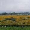 約60万本のひまわりの花が楽しめる 北杜市「明野サンフラワーフェス」