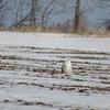 子連れキングストン旅行①〜冬のカナダでシロフクロウを見る
