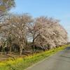 「桜」と「ヒルクライム」【ときがわ町】