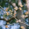 木場公園のマンサクと蝋梅