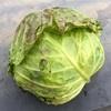 """畑からこんにちは! 0117  """"寒い中、成長している野菜たち"""""""