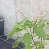 今年のトゥルシーさんの花