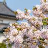桜の皇居乾通りから皇居東御苑へ