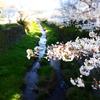 一の坂川では毎年見事な桜が咲き誇る