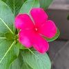 """キョウチクトウ科の花たち3 ニチニチソウ.属が変わってもかつての属名ビンカと呼ばれています.沢山の園芸種が開発されていて,それぞれの一群に「○○シリーズ」を銘打って販売されています.園芸種として名が知られているニチニチソウのもう一つの顔は,抗がん剤の原材料.現役です.この植物から採取された""""ビンカアルカロイド""""(ビンブラスチン,ビンクリスチン等)は,""""微小管重合阻害作用""""をもち,細胞分裂を阻害します."""