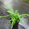 ☆新商品入荷☆丸っこい葉が可愛らしいタマシダ「ダッフィー」など