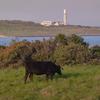 角島牧崎放牧場と遠くに見る角島灯台:下関市