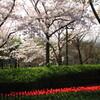 木曽三川公園界隈の桜とチューリップ