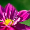 コラレット咲きのコスモス