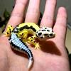 超リアルにこだわった爬虫類好き納得のカプセルトイ「ヤモリ大全3」