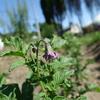 ジャガイモ開花